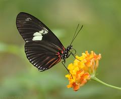 Heliconius doris viridis (Glenn van Windt) Tags: macro nature closeup butterfly insect natuur vlinder dorislongwing tropicalbutterfly passiebloemvlinder lepidopterarhopalocera heliconiusdorisviridis sigma180mm128apomacrodghsm