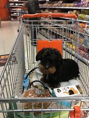 At the supermarket; Ducje is taking care of my groceries (arina23111963) Tags: supermarket dachshund tax teckel supermarkt dachsie doxie bassotto myrkoira gravhund