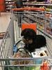 At the supermarket; Ducje is taking care of my groceries😊 (arina23111963) Tags: supermarket dachshund tax teckel supermarkt dachsie doxie bassotto mäyräkoira gravhund תחש