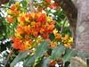 starr-120606-6859-Castanospermum_australe-flowers-Kahanu_Gardens_Hana-Maui (Starr Environmental) Tags: castanospermumaustrale