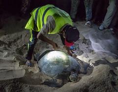 Turtle Measuring (m_c2012) Tags: turtle malaysia borneo sabah turtleisland selinganisland