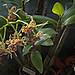 N20160126-0049—Dendrobium spectabile—UCBG
