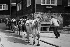 Khe in Visperterminen (Heidadorf Visperterminen) Tags: animal tiere cow traktor sheep kultur natur goat bluesky bauer zermatt farmer horn wallis mouton khe valais wanderungen swissalps chvre funnyanimals weisshorn dekoration saasfee funnyanimal wolkenlos nummer genuss bietschhorn visp visperterminen kuhglocke holidaydestination schwarznasen nanztal eringerkuh stechfest schwarznasenschafe swissnature walliserteller swissfarmer ringkuhkampf eyholz heidadorf schwarzhalsziegen wallisertradition wallisertiere
