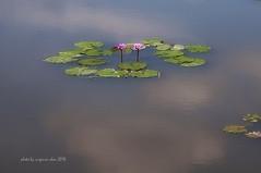 _DSC3911a-Nikon D300-NIKKOR70.0-300.0 mm f/4.5-5.6-Virginia Chou (virginia1988) Tags: lotus         nikond300  nikkor7003000mmf4556 virginiachou