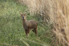 Chinese Water Deer (Prank F) Tags: nature water wildlife chinese deer wildlifetrust woodwaltonfen greatfen huntingdonuk