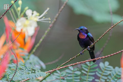 Blazing Throat (Rhapsody-In-Blue) Tags: portrait bird nature birds animal rainforest wildlife malaysia borneo birdwatching oiseau sabah sepilok oiseaux sunbird malaisie birdwatch birdportrait passerine ornithologie ornitho borno nectariniidae passereau copperthroatedsunbird leptocomacalcostetha souimanga souimangademacklot