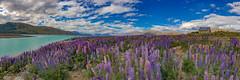 The Lupin Express (soliloquy photography) Tags: new flowers summer sky panorama sun lake mountains church beautiful zealand nz lupins tekapo