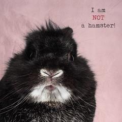 Not a Hamster (Jeric Santiago) Tags: pet rabbit bunny animal conejo lapin hase kaninchen   notahamster rabbitbit
