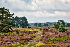 HDR shot of Hiddensee heath with pine trees and cloudscape (Armin Staudt) Tags: trees summer vacation sky abandoned nature beautiful grass weather pine rural forest way landscape island silent outdoor path horizon country meadow nobody hidden journey heath lonely typical bushes plain vacancy idyllic hiddensee hdr cloudscape knotted