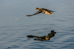 Fly by with Reflection (*Capture the Moment*) Tags: winter reflection water duck wings wasser seagull flight spiegelung tegernsee laketegernsee flug flgel 2016 wildente elemente sonya77