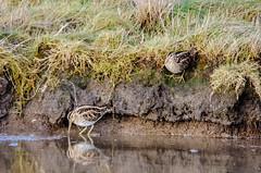 Snipe Pair (phat5toe) Tags: nature birds nikon wildlife feathers lancashire avian wetland silverdale rspb wader snipe leightonmoss d7000 sigma150500
