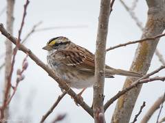 White Throated Sparrow (Gene Herzberg) Tags: canada newfoundland stjohns whitethroatedsparrow zonotrichiaalbicollis signofspring