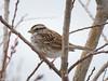 White Throated Sparrow (Gene Herzberg) Tags: canada newfoundland stjohns whitethroatedsparrow zonotrichiaalbicollis signofspring