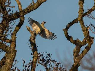 Green Woodpecker. Montreathmont Forest. 20.03