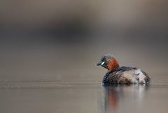 Little grebe (Mike Mckenzie8) Tags: winter wild sun lake reflection bird water gold pond wildlife calm dabchick caddisfly tachybaptus ruficollis