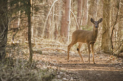Doe, a Deer (flashfix) Tags: trees portrait usa ny newyork nature animal woods nikon branches unitedstatesofamerica doe deer trail syracuse mothernature whitetaileddeer naturetrail baldwinsville 2016 pecora cervidae d7000 nikond7000 55mm300mm 2016inphotos march272016 beaverlakenaturecentre