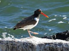 AMOY_2016b (Surfishrink) Tags: virginia easternshore island2 americanoystercatcher haematopuspalliatus cbbtbirding cbbtnorththimble americanoystercatcherbanddatabase