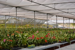 Mauna Kea Orchids Greenhouse (Nurelias) Tags: flowers flores orchid flower color macro fleur beautiful forest photography flora nikon rainforest colorful orchids orchidaceae tropical orquidea orchidee oncidium makro flore odontoglossum orchideen hybrids wilsonara odontioda oncidiinae d7100 orchidales