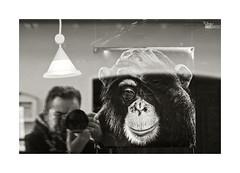 Al mirarse al espejo... (ngel mateo) Tags: blackandwhite selfportrait art blancoynegro lamp germany bavaria monkey mono reflex photographer arte reflejo alemania chimpanzee autorretrato showcase fotgrafo photographing lmpara fotografiando selfie fssen escaparate baviera chimpanc ngelmartnmateo ngelmateo