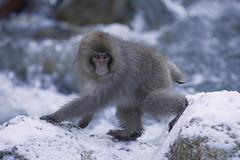 Japan (richard.mcmanus.) Tags: winter snow japan primate gettyimages mcmanus honshu japanesemacaque yudanaka snowmonkeys jigokudaniyaenkoen