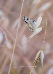 Butterfly (Alex Savenok) Tags: macro nature butterfly israel nikon fx 70300 d610 f4556