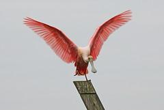 Single foot landing - Peaceful Waters (QuakerVille) Tags: peacefulwaters spoonbill spoonie jonmarkdavey palmbeach wetland wildlife bird pinkbird wellington fl usa birds