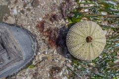 IMG_3163 (armadil) Tags: macro beach beaches urchin seaurchin mavericks californiabeaches