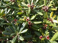 Pittosporum tobira (Thunb.) W.T.Aiton 1811 (PITTOSPORACEAE) (helicongus) Tags: spain pittosporum pittosporaceae pittosporumtobira jardnbotnicodeiturraran