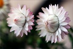Siblings (Pensive glance) Tags: plant flower nature fleur plante aster everlasting immortelle