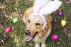 (Tc photography.Per) Tags: pink dog pet pets color cute rabbit bunny dogs smile animal goldenretriever 35mm canon easter golden costume eyes happiness naturallight ears pascua perro kawaii mascota easterbunny retiever tcphotography