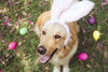 (Tc photography.Perú) Tags: pink dog pet pets color cute rabbit bunny dogs smile animal goldenretriever 35mm canon easter golden costume eyes happiness naturallight ears pascua perro kawaii mascota easterbunny retiever tcphotography