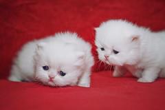 Monday, is it ? (koolandgang) Tags: pet baby animal cat persian kitten kitty indoor kedi babycat pisipisi yavrukedi nikond700 kedici nikon105vrmicro redpointhimalayan pazartesimio