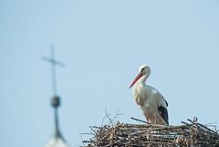 Church Stork (Obicare) Tags: green bird church birds animals lens zoom wildlife sigma 150 600 vgel stork songbird storch singvogel 150600mm