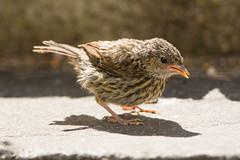 Juvenile dunnock (Shane Jones) Tags: bird nikon dunnock juvenile fledgling tc14eii hedgesparrow gardenbird 200400vr d7200