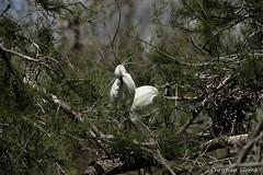 _DSC0462 (chris30300) Tags: france heron de pont parc oiseau camargue gau saintesmariesdelamer flamant provencealpesctedazur ornithologique