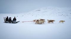 Dogs on the move (Lil [Kristen Elsby]) Tags: winter arctic greenland editorial musher dogsledding arcticcircle sleddogs dogsled travelphotography greenlandic ilulissat jakobshavn westgreenland vestgronland greenlandicdogs canong12