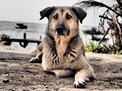 The dog (Nikos Karatolos) Tags: kalochori thessaloniki greece road sea seafront waterfront