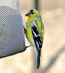 Molty American Goldfinch (BIRD NERD - Marigami) Tags: ny birds goldfinch molt