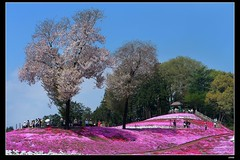 nEO_IMG_DP1U5777 (c0466art) Tags: park trip travel sunlight flower tree beautiful japan canon season spring scenery pattern tour place bright sakura popular graden 2015 1dx  c0466art