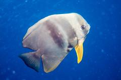 Circular Batfish, Platax orbicularis (agasfer) Tags: life fish canon marine underwater scuba diving maldives s90 carpediem 2016 intova iss2000 carpenovo