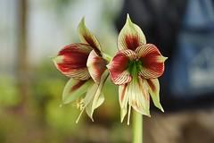 /Hippeastrum papilio (Ravenna) Van Scheepen (nobuflickr) Tags: flower nature japan  osakapref  turumiryokuchpark awesomeblossoms 20160312dsc03533  hippeastrumpapilioravennavanscheepen