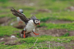 Puffin (yve1964) Tags: bird nature birds flying flight northumberland serenity puffin puffins nationaltrust farneislands serenity2 thefarnes