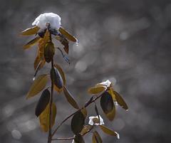 rhododendron (marianna armata) Tags: winter light sun snow cold macro spring bokeh radiant marianna armata hbw p2200618