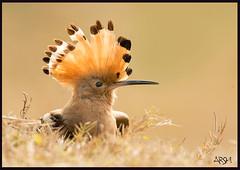 Crown Of A King (Arshad Aashraf) Tags: pakistan beautiful birds ilovenature outdoor birdseyeview naturephotography naturelover sialkot birdphotography natureimages birdsofpakistan nikkor600mmf4 birdslover headmarala ilovewildlife nikond4s