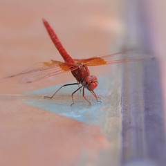 Red Dragonfly (nyoz_fr) Tags: travel mountains cat morroco maroc atlas