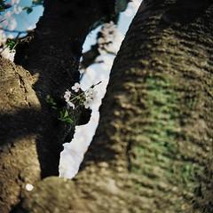 (lemonhats) Tags: tlr japan mediumformat walking iso100 vintagecamera sakura cherryblossoms manualfocus f4 springtime 1100 twinlensreflex classiccamera nerimaku filmphotography hikarigaoka fixedlens printfilm shootfilm tokyoto filmisnotdead colornegativefilm ricohflexviis analoguephotography filmisalive filmforever kodakektar100 f3580mm filmcommunity legacyphotography fpper believeinfilm ricohanastigmat3580
