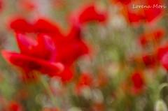 Poppies (lorym_) Tags: flowers red flower poppy poppies fiori rosso papaveri
