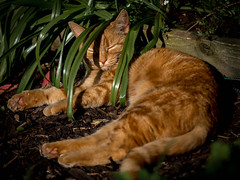 Did you say you wanted help with the gardening??? (Unni Henning) Tags: england pet cat garden ginger warwickshire