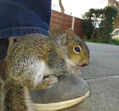Baby Squirrel (deanhammersley) Tags: baby cute lost grey furry squirrel sad small tiny babysquirrel smallanimals babyanimals