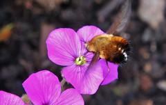 Wollschweber (Bombyliidae) (Hugo von Schreck) Tags: macro insect fly insekt fliege f13 wollschweber bombyliidae onlythebestofnature tamron28300mmf3563divcpzda010 canoneos5dsr hugovonschreck